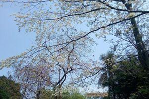 Mùa hoa sưa nở - nét chấm phá trong bức tranh xuân Hà Nội