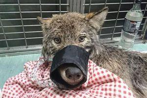 Chú sói may mắn được cứu vì tưởng nhầm là chó nhà