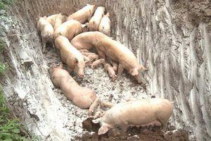 Hải Phòng: Phát hiện ổ dịch tả lợn châu Phi