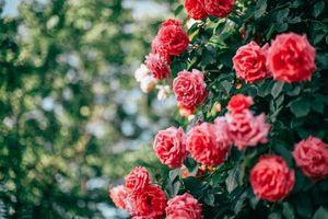 Sắp diễn ra chương trình 'Hoa hồng Bulgaria 2019' tại Hà Nội