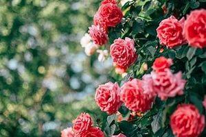 Lễ hội hoa hồng Bulgaria 2019 dự kiến sẽ diễn ra tại Hà Nội từ ngày 2-3