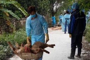 Hải Phòng, địa phương thứ 3 phát hiện dịch tả lợn châu Phi