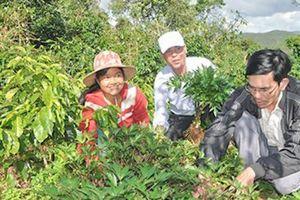 Kon Plông: Trồng xen cây dược liệu trong vườn cà phê
