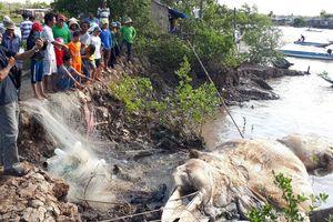 Ngư dân cửa biển Bồ Đề an vị cá voi 15 tấn theo phong tục