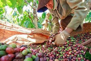 Giá cà phê tăng 200 đồng/kg trong phiên đầu tuần