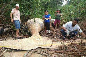 Bí ẩn cá voi chết giữa rừng rậm