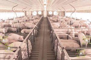 Trung Quốc: Áp dụng công nghệ nhận diện khuôn mặt vào chăn nuôi lợn có dễ dàng ?