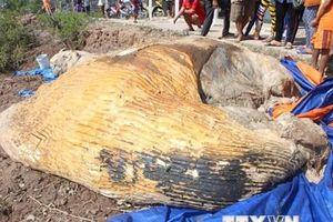 Phát hiện xác cá voi hơn 20 tấn trôi dạt trên vùng biển Cà Mau