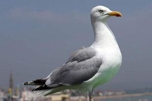 CLIP: Chim hải âu đột nhập siêu thị trộm bánh 'quá nhanh quá nguy hiểm'