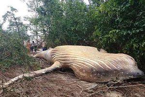 Bí ẩn xác cá voi khổng lồ đột nhiên xuất hiện trong rừng rậm Amazon