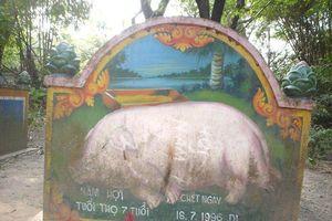 Kỳ dị đàn lợn khất thực kiếm ăn và người đàn bà nhận lợn là… mẹ đẻ