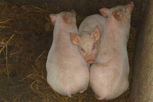 Dịch tả lợn châu Phi xuất hiện ở Thanh Hóa