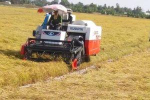 Giá lúa gạo nhích lên, thị trường vẫn đìu hiu