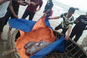 2 cá ngư ông nặng nửa tạ chết trên biển, dân lập bàn thờ cúng