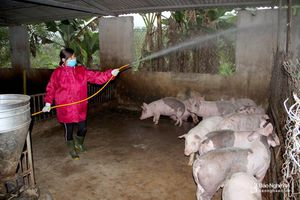 Người chăn nuôi Nghệ An chủ động phòng ngừa dịch tả lợn châu Phi
