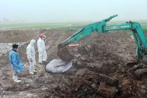 Thái Bình: Tiêu hủy gần 300 con lợn mắc dịch tả châu Phi