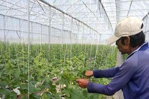 Ứng dụng công nghệ nhà màng và hệ thống tưới nhỏ giọt sản xuất dưa lưới Taki tại TP. Long Xuyên