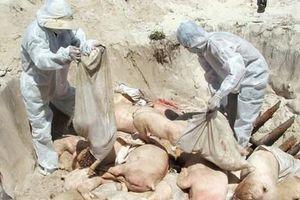 Tiêu hủy 273 con lợn mắc dịch tả lợn châu Phi ở Thái Bình