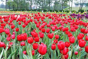 'Check in' cùng rừng hoa Tuylip tại Hà Nội