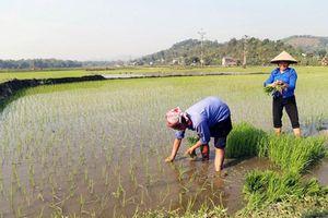 Các địa phương đẩy mạnh sản xuất lúa vụ xuân