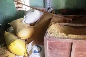 Một gia đình báo mất 49 cây vàng giấu trong đống lúa