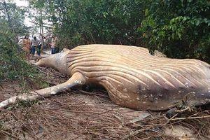 Chuyện lạ: Xác cá voi lưng gù được tìm thấy giữa rừng rậm Amazon