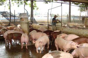 Huy động cả hệ thống chính trị vào cuộc ngăn chặn dịch tả lợn Châu Phi