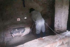Thái Bình: Phát sinh nhiều ổ dịch tả lợn mới, hộ chăn nuôi hoang mang