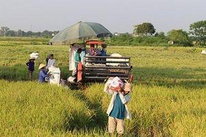 Lối đi bền vững cho lúa gạo