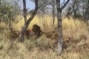 Đàn sư tử cắn nhau dữ dội vì linh dương Waterbuck