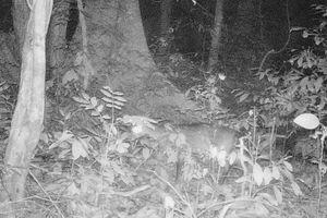 Loài Sao La lọt vào bẫy ảnh ở Phong Nha - Kẻ Bàng