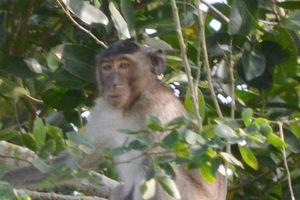Bắn hạ con khỉ đực trong bầy khỉ hoang cắn cháu bé ở Sóc Trăng