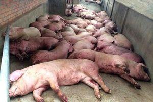 Giá đền bù thấp, nhiều hộ chăn nuôi 'bán chui' thịt lợn mắc dịch tả châu Phi
