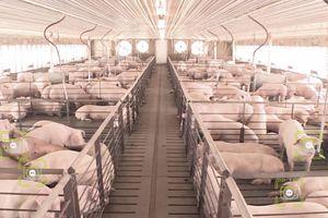 Tại Trung Quốc, nhận diện khuôn mặt áp dụng cả cho việc nuôi lợn