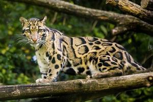 Loài báo đốm quý hiếm tưởng đã tuyệt chủng bất ngờ xuất hiện tại Đài Loan