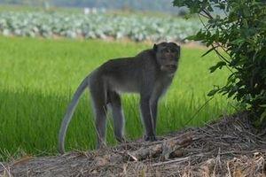 Bắn hạ con khỉ đực đầu đàn cắn người ở Sóc Trăng
