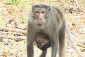 Sóc Trăng: Con khỉ đực hung hăng nhất bị bắn hạ bằng súng bắn tỉa