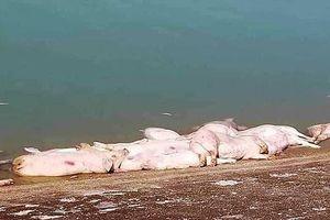 Heo chết hàng loạt chưa rõ nguyên nhân ở Khánh Hòa