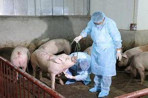 Quản lý thị trường tăng cường phòng, chống dịch tả lợn châu Phi