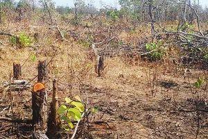 Gia Lai: Gần 7ha rừng tự nhiên bị san phẳng