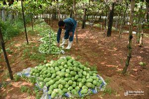 Nghệ An: Su su giá rớt thảm, quả rụng đầy vườn