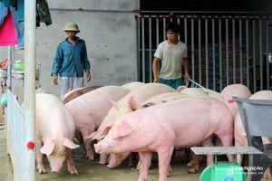 Giá lợn hơi giảm, người chăn nuôi Nghệ An thận trọng không xuất bán