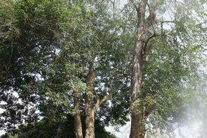 Thực hư thông tin 2 cây sưa có giá 100 tỷ tại chùa Long Khê - Thanh Hóa