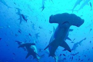 Cá mập đầu búa tụ tập đầy bất ngờ