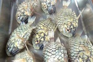 Cách ăn loài cá cứng nhất thế giới mà dao kéo không cắt nổi