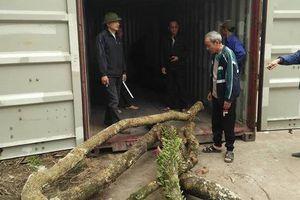 Hà Nội: Người dân thôn Phụ Chính vẫn loay hoay trước 'giờ G' bán đấu giá cây sưa 'trăm tỷ'