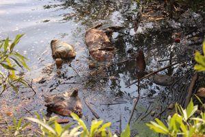 Xác lợn chết do dịch bệnh bị vứt xuống suối Cam Ly