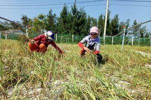 Người tiên phong trồng tỏi 'sạch' ở Lý Sơn