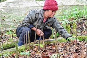 Chuyện lạ ở Kon Tum: Lạnh thấu xương vẫn gác cho sâm ngủ đông