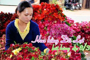 Hoa hồng Đà Lạt hút hàng dịp 8-3, giá cao hơn cả đợt Valentine